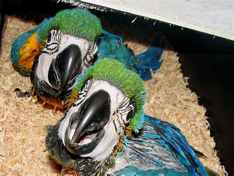 Blue And Gold Macaw from Priam Parrot Breeding