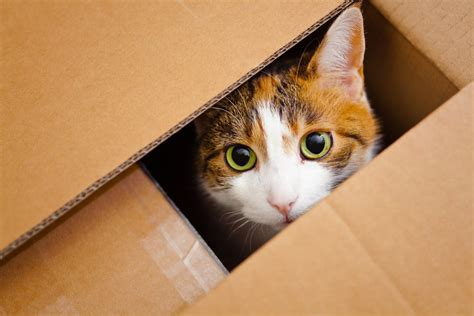 Why Do Cats Like To Stay Inside Boxes? » Science ABC