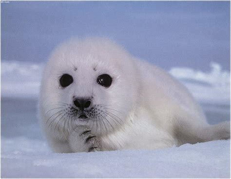 Calling all chefs: Save baby seals, boycott Canadian
